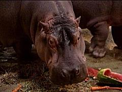Button and Genny, two hippopotamuses at Adventure Aquarium, observed Thanksgiving