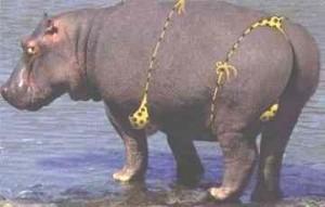 funny_hippo