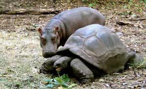 tortoise_adopts_hippo